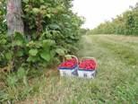 Ферма по выращиванию малины